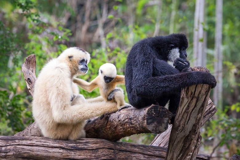 Projet de Réhabilitation de Gibbons á Phuket